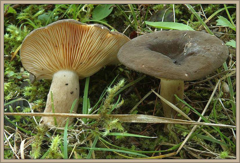 Pechschwarzer Milchling (Lactarius picinus). Diese Art wird man in M-V wohl vergeblich suchen. Dieser sehr dunkle Milchling ist in Bergnadelwäldern zu hause, wo er vor allem in den Alpen und im Schwarzwald vorkommen soll. Das Foto schickte mir wieder Wilhelm Schulz. Er hat die Pilze am 21.10.2012 bei Flattach - Schattseite in Österreich fotografiert. Ungenießbar.