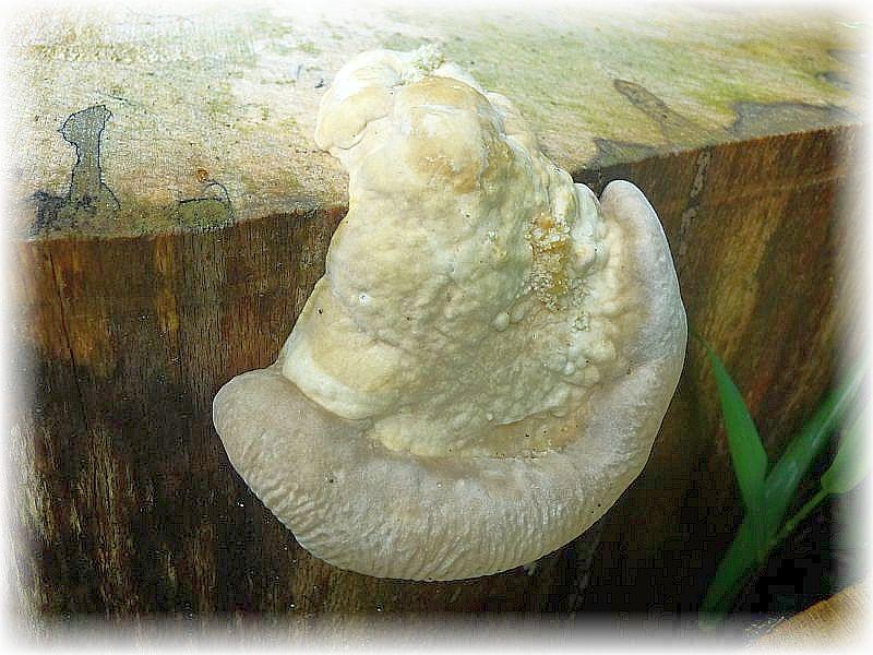 Auf mächtigen Totholzscheiben am Wegesrand entwickelten sich einige ganz frische Buckel - Trameten (Trametes gibbosa). Sie haben eine saprophytische Lebensweise und verursachen im Holz eine Weißfäule. Das die holzigen Porlinge natürlich nicht essbar sind, versteht sich von selbst.