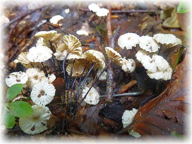 Hier die Pilze noch mal in typischerweise am Standort. Der Hut wirkt von oben wie ein aufgeschirmter Fallschirm.
