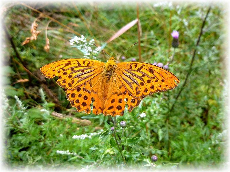Wie schön, dass unser Hautaugenmerk den Pilzen gilt. Sie können nichr weglaufen oder wegflattern wie dieser Schmetterling. Er ließ sich seelenruhig fotografieren. Es dürfte sich um den Kaisermantel (Argynnis paphia) handeln. Er fliegt im Juli und August auf blühenden Diesteln, Stechdiesteln und Brombeersträuchern.