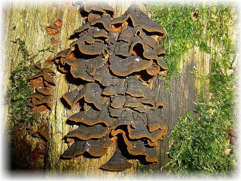Sehr häufig an alten Eichen - Stubben können wir den Rotbraunen Borstenscheibling (Hymenochaete rubiginosa) beobachten.
