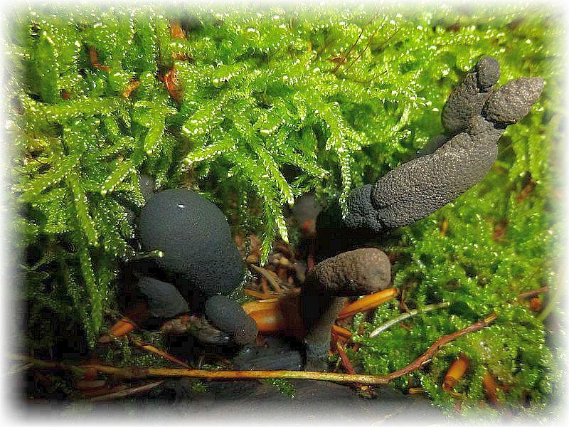 Nicht selten am Fuß von alten Buchen sowie deren toten Stämmen und Stubben finden wir diesen merkwürdig düsteren Gesellen in sehr vielfältigen Formen. Es handelt sich um die Vielgestaltige Holzkeule (Xylaria polymorpha). Ein hertfleischiger Schlauchpilz der ungenießbar ist.