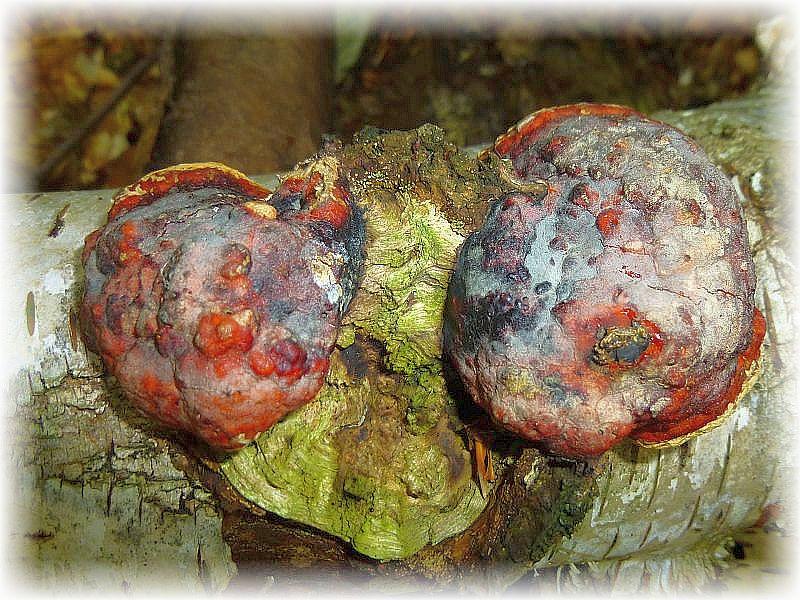 Der häufige Rotrandige Baumschwamm (Fomitopsis pinicola) wird auch als Fichtenporling bezeichnet. Ein, wie ich meine, recht unglücklicher Name, denn wir finden ihn auch vielfach an anderen Bäumen und deren toten Stämmen, so wie hier an Birke. Ungenießbar, aber sehr dekorativ z. B. für Gestecke.