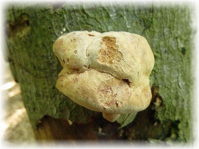 Mit dem weichfleischigen und giftigen Zimtfarbenen Weichporling (Hapalopilus rutilans) läßt sich wunderbar Wolle färben.