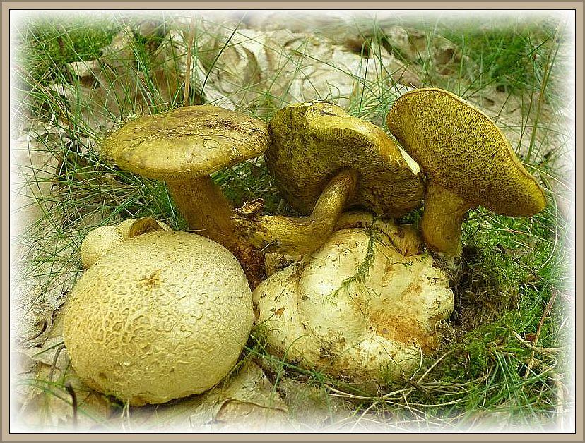 Neben einem Eichen - Filzröhrling und einem Blutroten Röhrling, waren diese Schmarotzer - Röhrlinge (Xerocomus parasiticus) die eimzigen Vertreter dieser beliebten Pilzgruppe. Dieser parasitische Röhrling schmarotzt auf Dickschaligen Kartoffelbovisten. Der Wirt ist giftig, der Parasit essbar, aber wegen seiner relativen Seltenheit lieber zu schonen. Standortfoto am 08.08.2014 in einem sandigen und moosreichen Roteichenbestand bei Neustadt Glewe.
