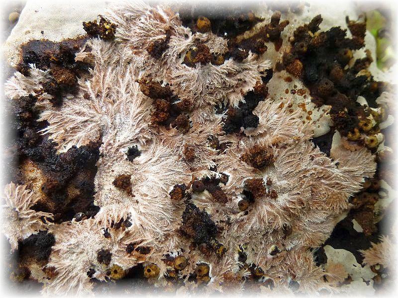 Auf der Unterseite einiger Fruchtkörper dieser Art fanden wir heute diese graulila Strukturen. Sicherlich dürfte es sich um Pilzgeflechte handeln, aber welche Art dafür zuständig ist, konnte wir nicht ohne weiteres ermitteln.