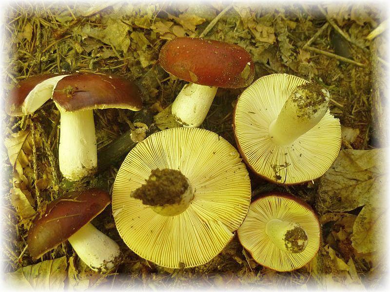 Ein sehr guter, schmackhafter Speisepilz ist der Braune Ledertäubling (Russula integra). Wir finden ihn unter Kiefern. Hier ist aber vorsicht geboten, denn genau dort ist der sehr ähnliche und äußerst scharf schmeckende Zedernholz - Täubling nicht weit. Das vorherige Kosten der Lamellen ist sehr zu empfehlen.
