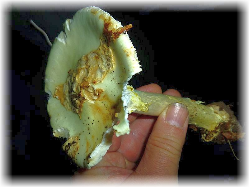 Und dann allgemeines Aufhorchen. Der erste Knollenblätterpilz ist entdeckt. Es handelt sich um den Gelben (Amanita citrina). Gut kenntlich a.a. an seinem Kartoffelkellergeruch. Der bringt niemanden um!