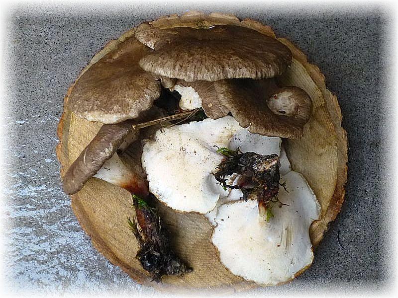 Diese Stielporlinge wurden mir heute in der Pilzberatung vorgelegt. Ich wußte gar nicht, wie ich die Pilze einordnen soll. Sie ähneln Polyporus badius, sind aber eher grauhütig und andeutungsweise grob schuppig. Wir sind ja lange Jahre durch die heimischen Wälder gezogen, aber diese Art ist mir persönlich bisher noch nicht aufgefallen. Es handelt sich um den Schwarzfuß - Stielporling (Polyporus melanopus). Zumindest in Mecklenburg scheint die Art eine große Rarität zu sein. In Vorpommern wurde sie zumindest auf der Insel Rügen schon nachgewisen. Ich habe heute eine weitere Art kennengelernt. Man lernt auf diesem Gebiet ebend nie aus.