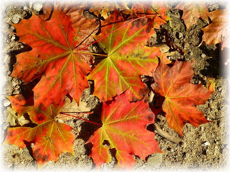 Bunt sind schon die Wälder, könnte man bei diesem Anblick meinen. Ein einzelner Ahorn hatte schon komplett auf goldener Oktober gemacht und ließ seine feurig roten Blätter fallen. Lange dauert es nun wirklich nicht mehr, aber noch sind die meisten Laubbäume zum Glück im Sommerkleid.