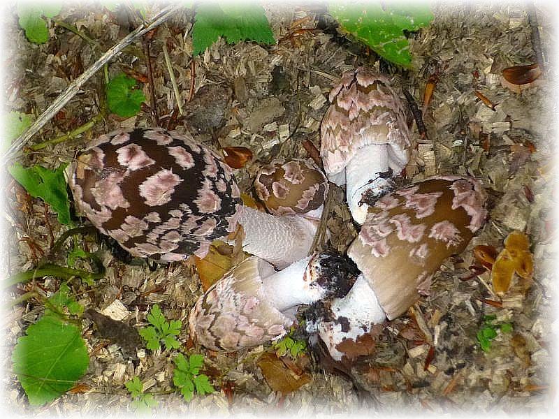Bewunderung löste eine größere Gruppe dieser sehr fotogenen Specht - Tintlinge (Coprinus picaceus) aus. Im Gensatz zu anderen Regionen können wir diesem attraktiven Tintling in unseren kalkreichen Buchenwäldern im Herbst sehr oft begegnen. Ungenießbar.