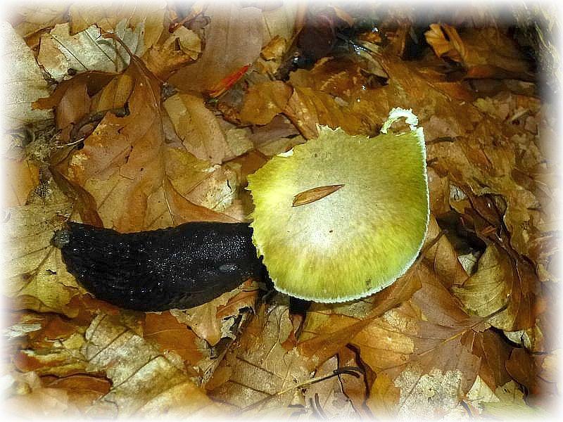 Was für uns Menschen lebensgefährlich wäre, scheint dieser großen Nacktschnecke nichts aus zu machen. Sie hat den für uns tödlich giftigen Grünen Knollenblätterpilz (Amanita phalloides) schon zur Hälfte Verspeist. Es ist immer noch ein weit verbreiteter Irrtum. dass Pilze die von Tieren angefressen werden oder madig sind, auch für Menschen ungefährlich seien!