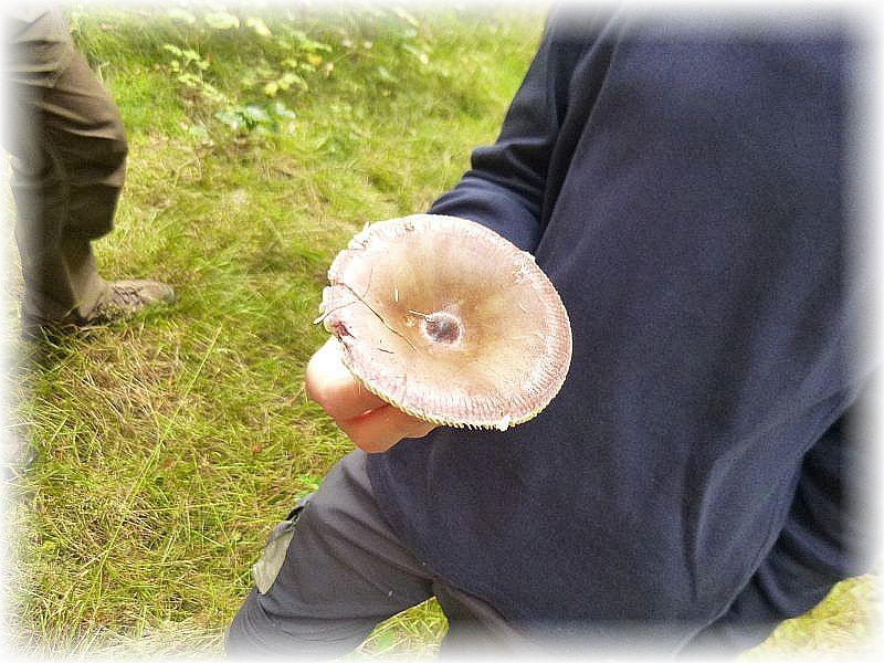 Der Buckel - Täubling besitzt in der Hutmitte iommer einen für Täublinge auffälligen Buckel. Er wächst immer unter Kiefern und ist zwar essbar, aber minderwertig.