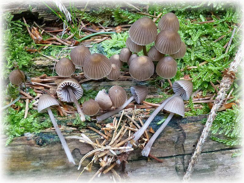 Der hübsche, aber unangenehm alkalisch riechende Alkalische Helmling (Mycena alcalina) ist recht häufig büschelig auf Stümpfen und Ästen zu finden. Ohne Speisewert.