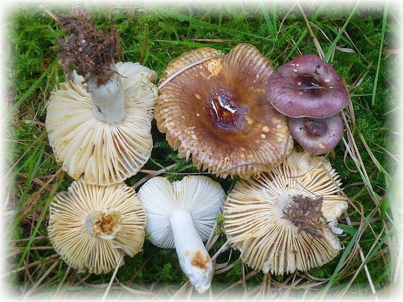 Ob es sich bei diesen Täublingen um zwei verschiedene Arten handelt, ist mir nicht ganz klar. Wahrscheinlich sind es nur junge und alte Fruchtkörper, denn sie standen am selben Standort unter Kiefern, Birken und Eichen. Zumindest bei den älteren, gelbbräunlich verfärbten Fruchtkörpern, könnte es sich um den Milden Wachstäubling (Rusulla puellaris) handeln.