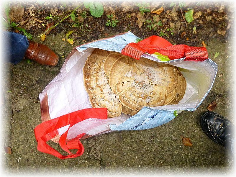 Zum Glück war noch eine Tasche dabei, denn auch der Korb war bereits voll. Darin befindet sich ein Riesenporling, der jung gegessen werden kann. Wirklich gigantische Ausmaße können die