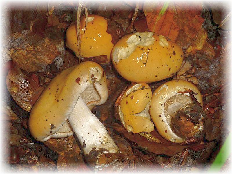 Auch den gro0en Rettich - Fälbling (Hebeloma sinapizans, mit seinen senffarbenen Hüten findet man nicht überall. Er ist eine kalkholde Art und kann sogar auffällige Hexenringe bilden. Ungenießbar.