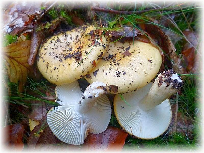 Der Ockertäubling (Russula ochroleuca) gehört hingegen zu den gemeinsten Großpilzen überhaupt. Kaum ein Wald, wo er nicht im Herbst zu Masenpilz wird. Essbar, aber wenig schmackhaft. Standortfoto.