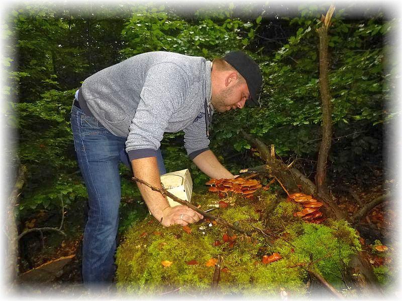 Da darf zugegriffen werden. Bevor die Ernte aber beginnt und auch während des Einsammelns der Stockschwämmchen ist immer vorher der Stiel zu prüfen. Er muß mit kleinen, bräunlichen Schüppchen besetzt sein.