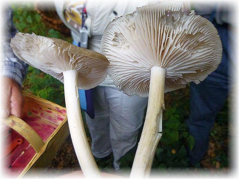 Die Hüte der recht ansehnlichen Breitblättrigen Rüblinge (Megacollybia platyphylla) bestitzen kaum Hutfleisch, dafür aber sehr breite Lamellen. Nicht empfehlenswert.