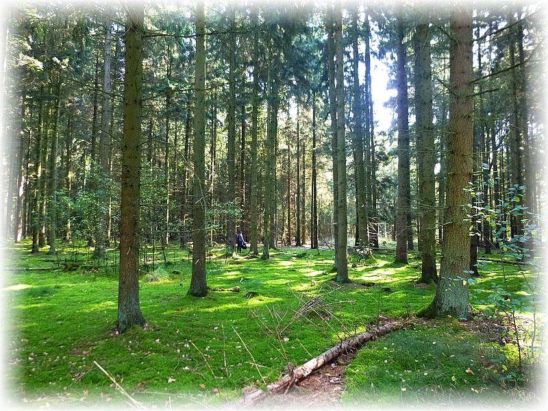 Ein moosreicher Fichtenwald, so wie ihn viele Pilzsucher lieben.