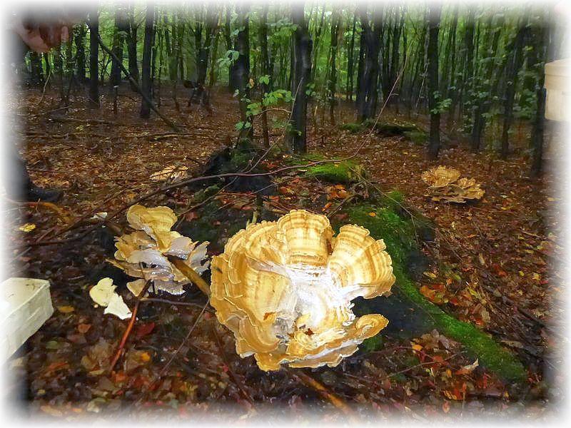 Gewaltige Teile des Riesenporlings (Meripilus giganteus) sorgten wie immer für Erstaunen. Um so mehr, wenn man erfährt, dass er ganz jung und zart sogar essbar ist. Dieses waren aber bereits zu strähnig und festfaserig, so dass sie stehen bleiben konnten.