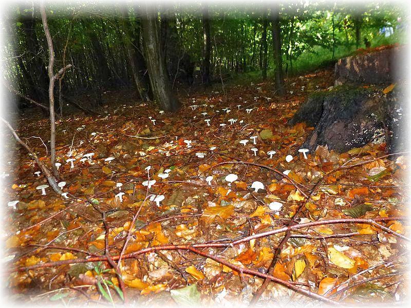 Der Waldboden ist mit weißen Pilzen übersät.