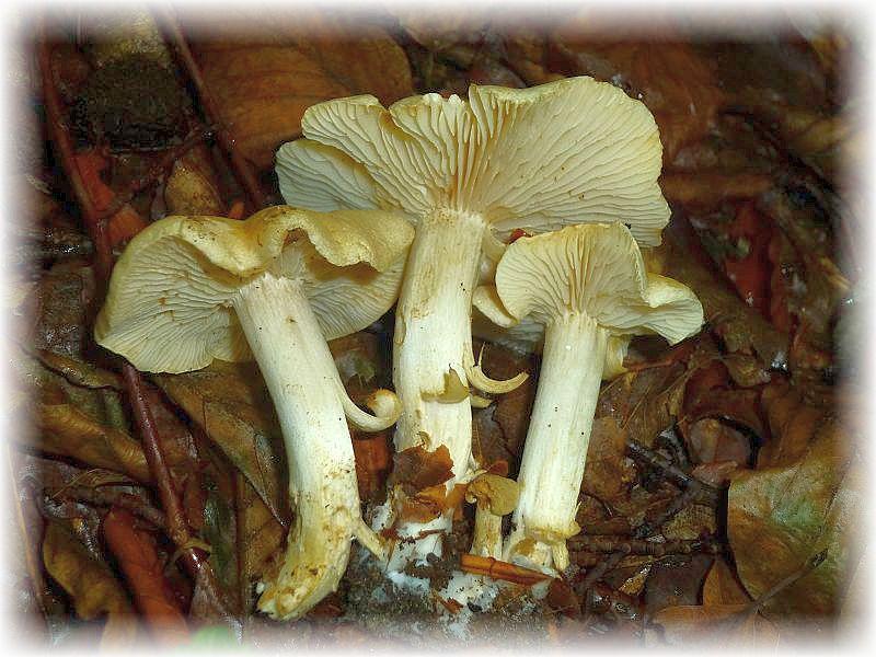 Der Widerliche Ritterling (Tricholoma lascivum) ist ein häufiger Herbstpilz des Buchenwaldes. Sein unangenehmer Geruch und Geschmack lassen eine Verwertung als Speisepilz nicht zu.