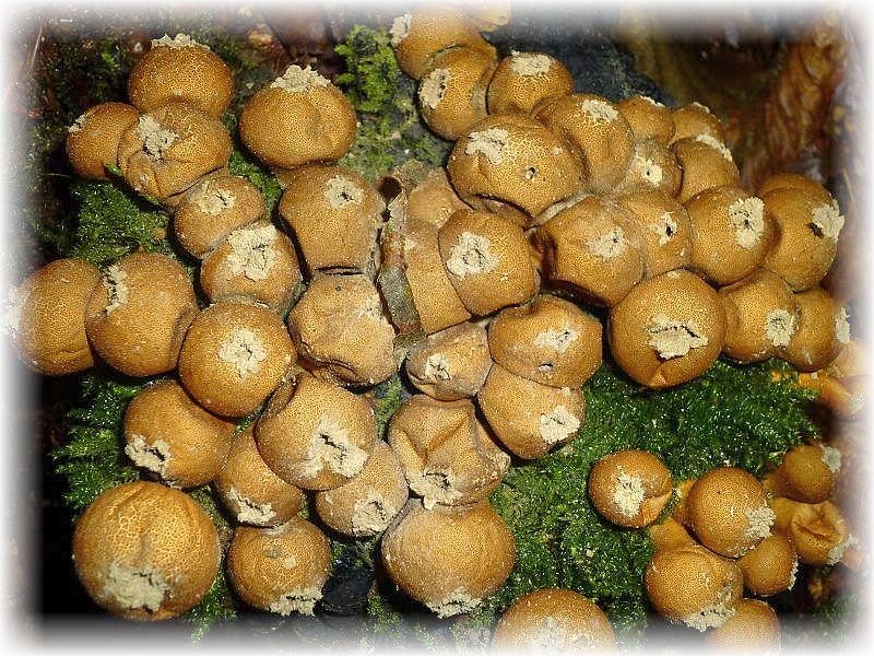 Diese an modrigen Laubholzstubben wachsenden Birnen - Stäublinge (Lycoperdon pyriforme) haben das Reifestadium erreicht und es entseht eine Öffnung am Scheitel des Fruchtkörpers, um die Sporen auf mechanischem Reiz hin besser frei zu geben. Prasseln hier z. B. Regentropfen drauf, werden die Sporen in die Luft geschleudert.