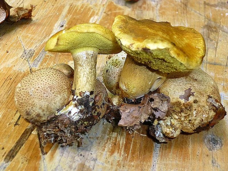 Oder auch diese nicht ganz so seltenen und essbaren Schmarotzer - Röhrlinge (Xerocomus parasiticus), die aus giftigen Kartoffel - Bovisten wachsen.