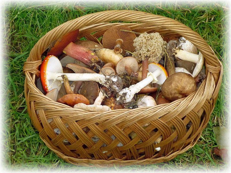 Kunterbunt sieht es dann in unseren Körben aus, denn es landen auch viele Pilze darin, die sonst niemand zum Essen sammelt, wie beispielsweise die wunderschönen Fliegenpilze.
