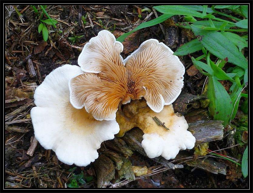 Diese Krüppelfüße (Crepidotus specc.) wuchsen zahlreich auf den holzigen Resten von Ginster.