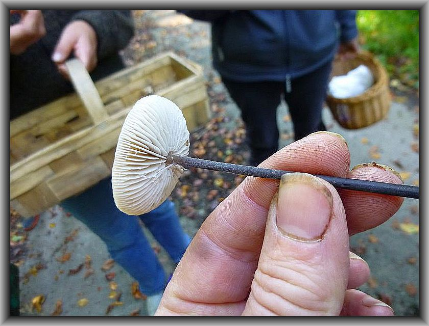 Die Hüte des sehr stark knoblauchartig riechenden Langstieligen Knoblauch - Schwindlings (Marasmius alliaceus) können als Würze eine Pilzsuppe bereichern, obwohl sie an Wert den echten Küchenschindlingen nachstehen.