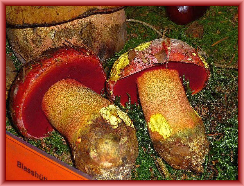 Der Rosahütige oder Blutrotfleckende Röhrling (Boletus rhodoxanthus) ist einer der schönsten Röhrlinge und Großpilze überhaupt. Dazu noch bei uns in Norddeutschland eine große Rarität. Auch diese beiden Fruchtkörper hatte Andreas am vergangenen Wochenende im Haushalt Forst gefunden und sie den Rehnaer Pilzfreunde zur Auslage in ihrer großen Ausstellung.