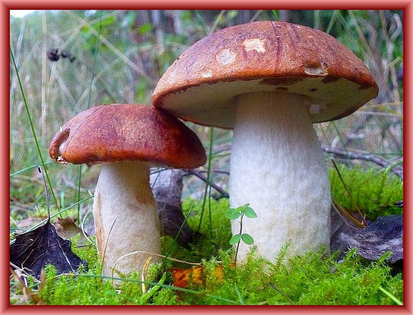 Insgesamt sechs wunderschöne und frische Espen - Rotkappen erfreuten mich am Wegesrand eines Zitterpappel-, Birken-, Fichtenwaldes. Der Hut ist im Vergleich zur Birkenrotkappe kräftiger Ziegelrötlich gefärbt und die Stielschuppen anfänglich weiß um schließlich rostbräunlich umzufärben. Sehr guter Speisepilz. Leicht Standortversetzt am 08.Oktober 2014 in den Settiner Tannen fotografiert.