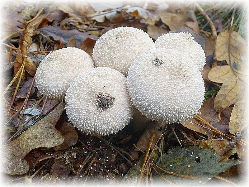 Diese jungen Flaschen - Stäublinge (Lycoperdon perlatum) grieseln vor sich hin. Anscheinend haben Regentropfen dazu beigetragen. Jung und innen weiß sowie Druckfest sind sie sehr brauchbare, leicht verdauliche Speisepilze die von manchen Pilzfreunden hoch geschätzt werden.