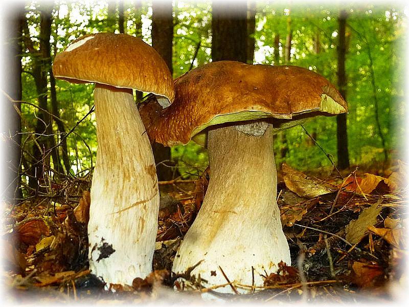 Neben zahlreichen Maronen, Rotfüßchen, Butter- und Birkenpilzen auch immer mal einige Steinpilze (Boletus edulis).