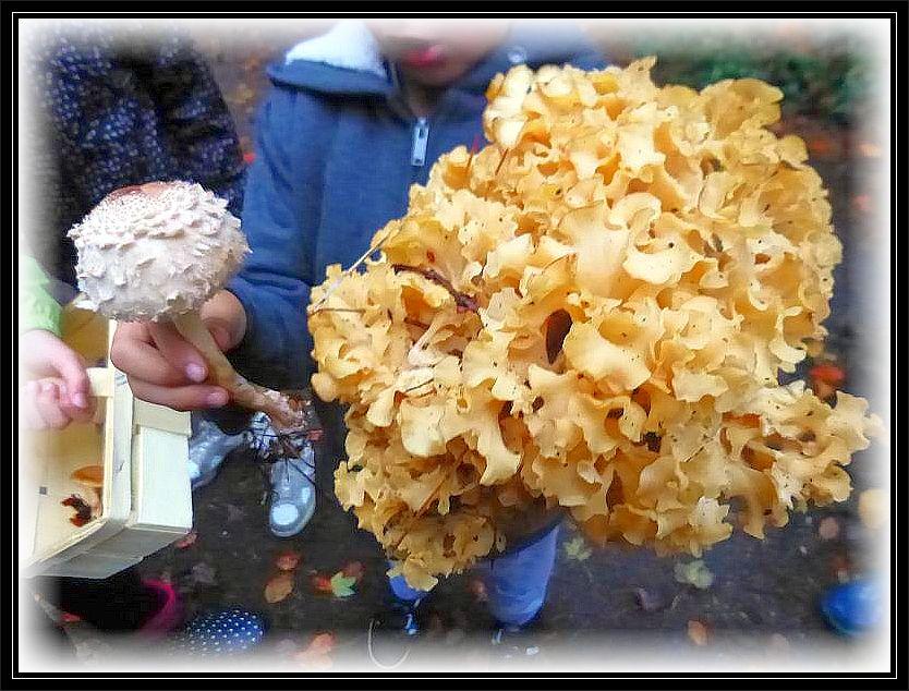 Die Kinder waren nun aus dem Häuschen und immer imposantere Pilze wurden entdeckt, so wie diese essbare und wohlschmeckende Krause Glucke (Sparassis crispa9 und ein junger und noch geschlossener Safran - Schirmpilz (Macrolepiota rhacodes).