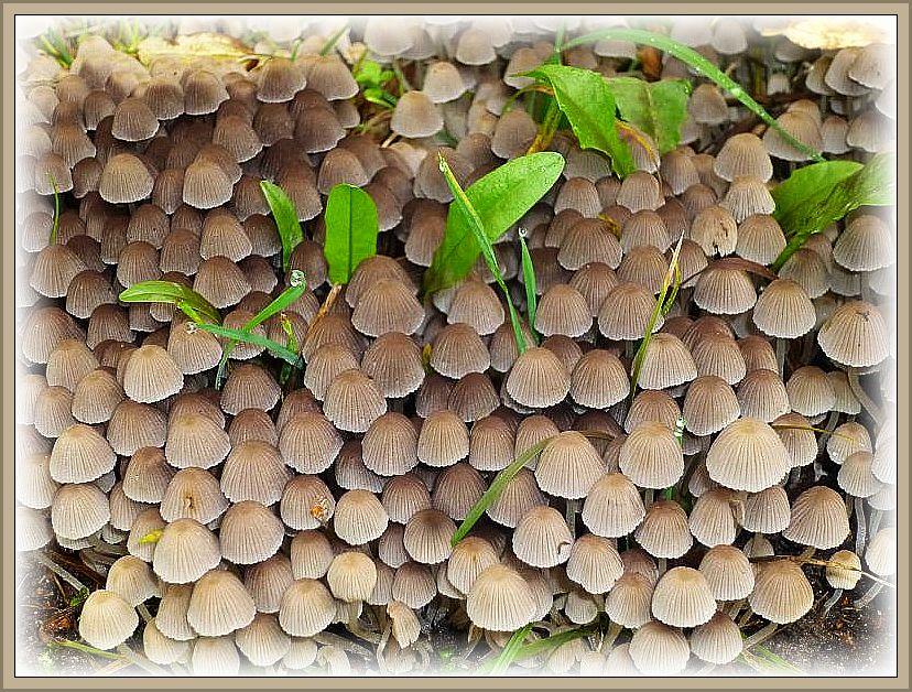 Welch eine Verschwendung, könnte man denken, aber jedes kleine Pilzchen hat sein Aufgabe und ist außerdem ein schnell vergängliches Kunstwerk für sich. Ohne Speisewert.