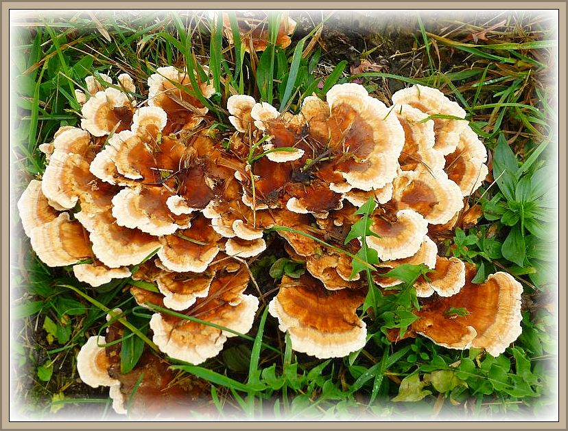 Einer der vielen Pilze, die hier die Stubben zersetzen ist dieser recht seltene und dekorative Rötende Saftwirrling (Abortiporus biennis). Ungenießbar.