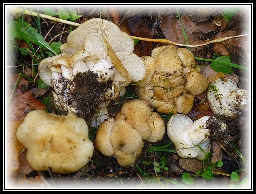 Hier die ungewöhnlich hell gefärbte Variante des Büschel Raslings (Lyophyllum specc.).