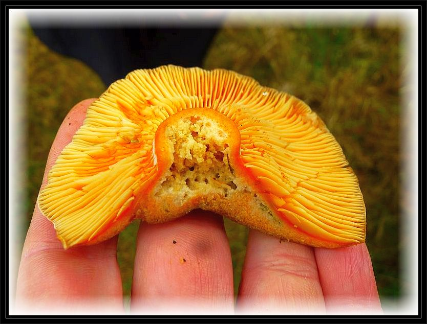 Denn darunter wuchsen Edel - Reizker (Lactarius deliciosus). Das er einer der leckersten Speisepilze überhaupt ist, wissen anscheinend auch die Maden.