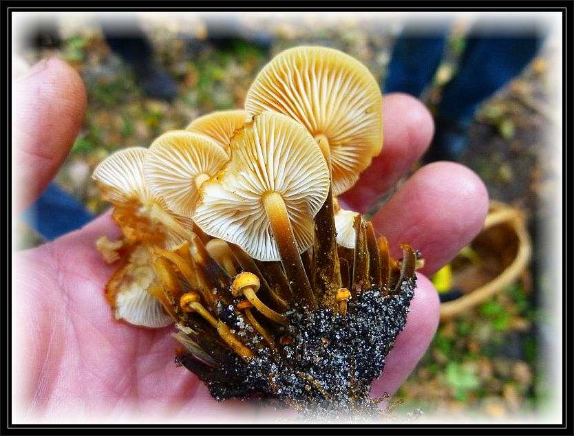 Trotz des ungewöhnlich milden Wetters konnten wir heute am Birkenstubben dieses Büschel Samtfuß - Winterpilze (Flammulina velutipes) finden. Vorzüglicher Speisepilz der Wintermonate.