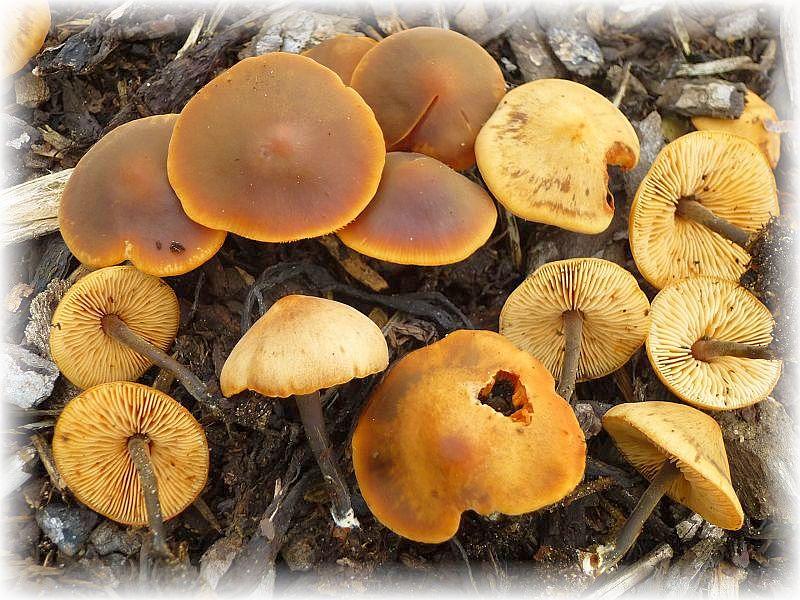 Diese Gurken - Schnitzlinge (Macrocystidea cucumis) wuchsten auf Holzhäcksel im Außenbereich des Garten - Centers. Standortfoto.