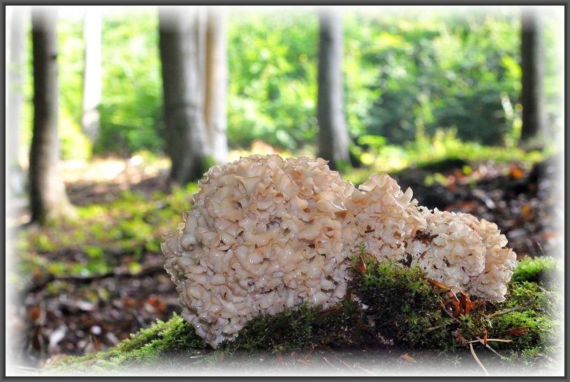 Angelika fand heute noch eine Krause Glucke (Sparassis crispa), die bis weit in den Winter hinnein vereinzelt noch gefunden werden können. Noch nie hat sie eine gegessen, weil ihr der kräftige, würzige Geruch des Pilzes unangenehm ist. Heute soll es aber soweit sein. Wir dürfen gespannt sein, wie der ansich sehr beliebte Speisepilz ihr gemundet hat. Dieses Super - Foto stammt von Raritätenjäger Andreas Okrent aus dem Frühherbst 2014.