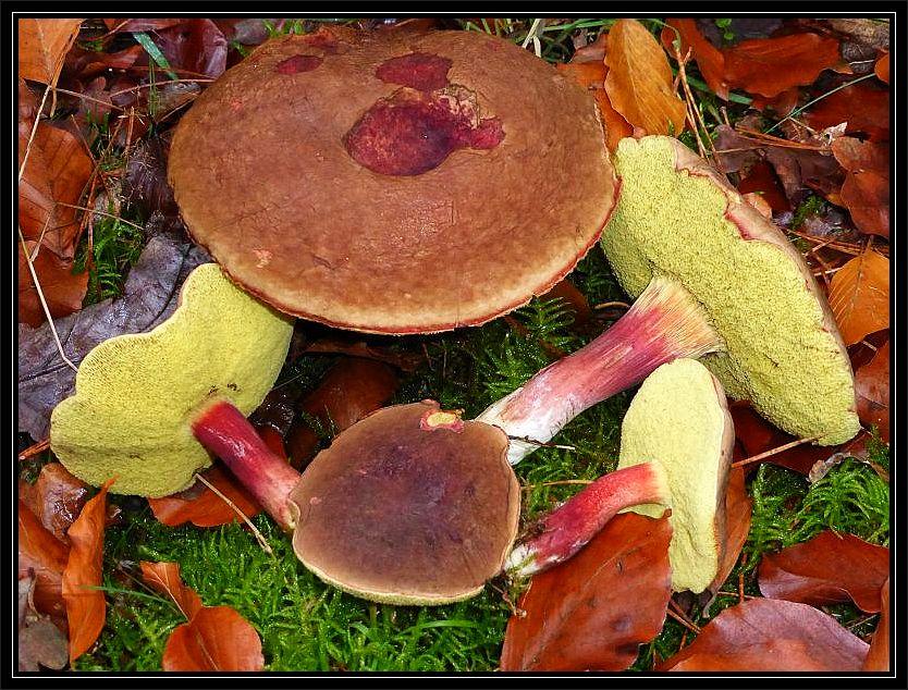 In den Buchenwäldern sind nun auch wieder verstärkt Derbe Rotfüßchen (Xerocomus pruinatus) erschienen, aber meist nicht in solch guter, oft madenfreien Qualität wie in den Vorjahren. Es scheint für sie einfach zu warm zu sein. Standortfoto am 02.11.2014 im Wald bei Göhren.