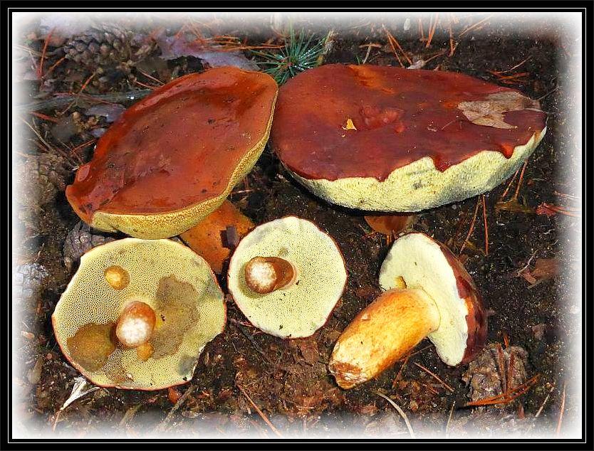 In vielen Wäldern kann man immer noch zahlreiche Maronen - Röhrlinge (Xerocomus badius). Übrigens wird von den Pilzsystematikern die Marone zur Zeit innerhalb der Röhrlingsgattungen hin und her geschoben. Sie wird schon seit einiger Zeit nicht mehr zur Gattung Xerocomus = Filzröhrlinge gestellt. Sie soll zu Bolöetus gehören, aber wie ich erfahren habe, hat man sie auch dort wieder herausgenommen und versucht für sie eine eigene Gattung aufzustellen. Ich mache an dieser Stelle das Chaos nicht mit und sie bleibt, wie viele andere Arten, bei uns zunächst an ihren angestammten Platz bei den Filzröhrlingen. Dem Pilz und nochvielmehr den Pilzsammlern sollte dieses mehr wie egal sein.gfinden