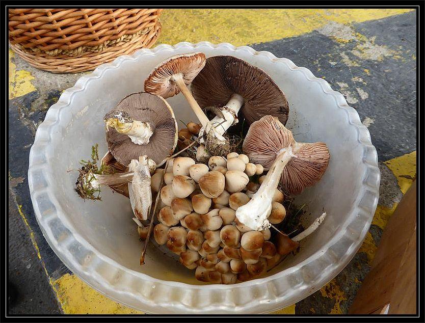 Zunächst mußte ich aber einige, mitgebrachte Pilze bestimmen. Diese hier stammen aus Brandenburg.