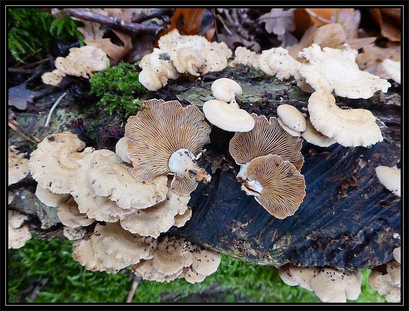 Häufig zu sehen an altem Eichenholz war heute der Herbe Zwergknäueling (Panellus stypticus). Seine dicht stehenden Lamellen sind scharf zum Stielchen abgegrenzt. Der Pilz ist zum einen unergiebig und zum anderen schmeckt er bitter. Standortfoto.