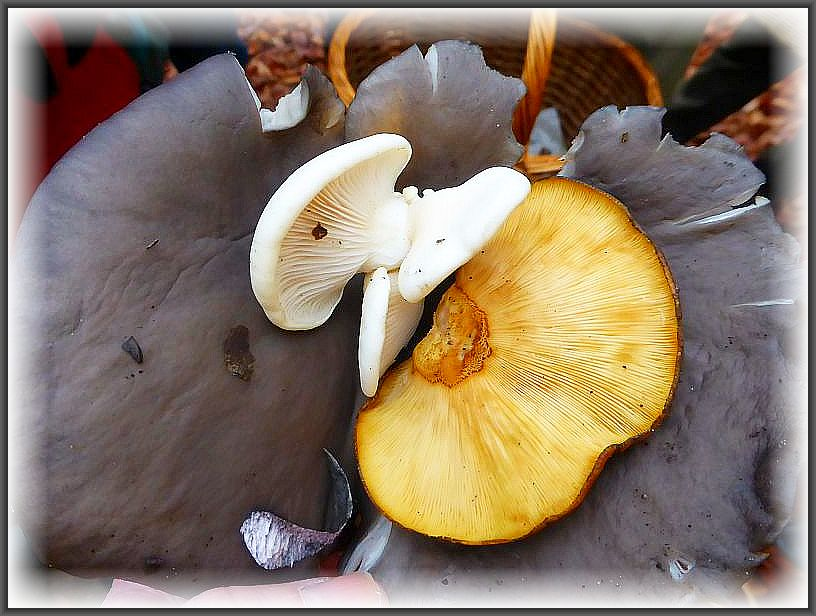 Klaus hatte uns vom Vortag gleich drei verschiedene Seitlinge mitgebracht. Die unterlage bildet hier ein typisch blaugrau gefärbter Austern - Seitling (Pleurotus ostreatus). Darauf wahrscheinlich ein schneeweißer Austern - Seitling und daneben der Gelbstielige Muschel - Seitling (Sarcomyxa serotina). Letzterer schmeckt mehr oder weniger bitter und ist deshalb als Speisepilz nicht zu empfehlen.